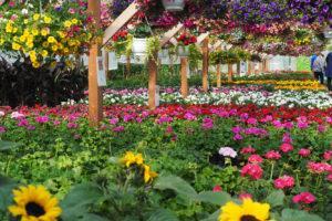 Suomalaisilla puutarhoilla on nyt käynyt kuhina, kun ihmiset ovat käyneet ostamassa kesäkukkia.